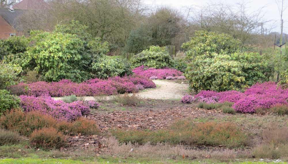 viller the garden erica x darleyensis in bloei