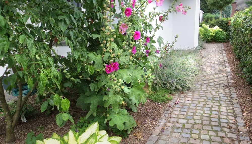 roze stokrozen in de voortuin