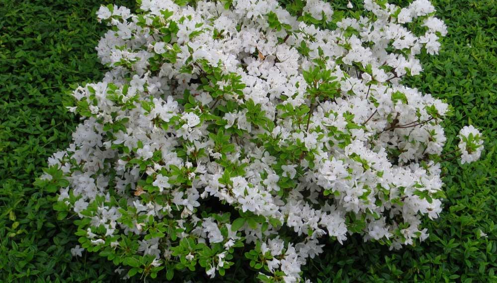 bloeiende rhododendron ferrugineum tottenham